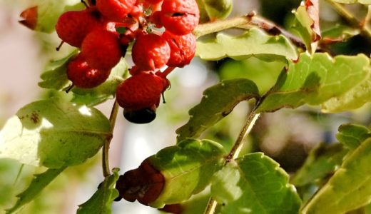 秋の実りを感じ始めて。庭の山椒がはじけだした!